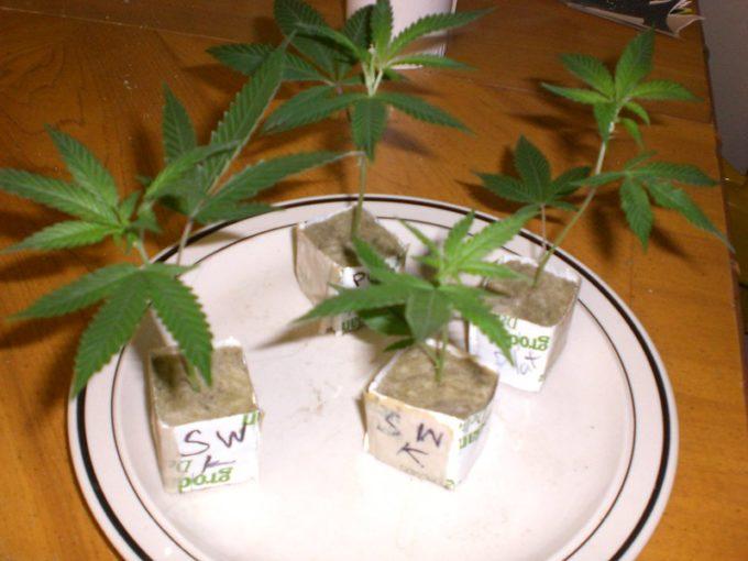 Some Useful Marijuana Cloning Tips