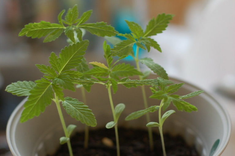 How to Take Care of Marijuana Seedlings