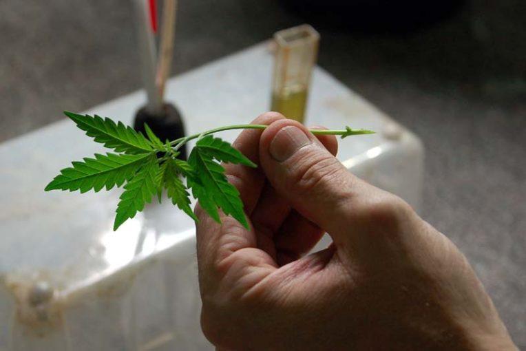 How to Clone Marijuana Plants