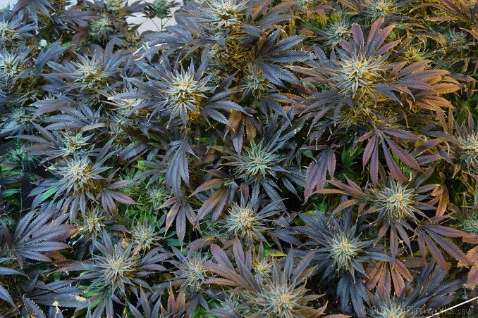 Guide on Marijuana Flowering