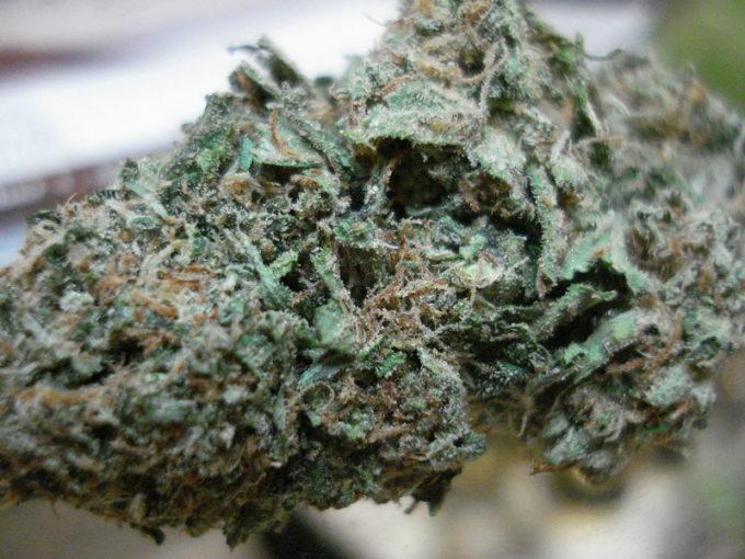 Harlequin GDP Marijuana Strain Review