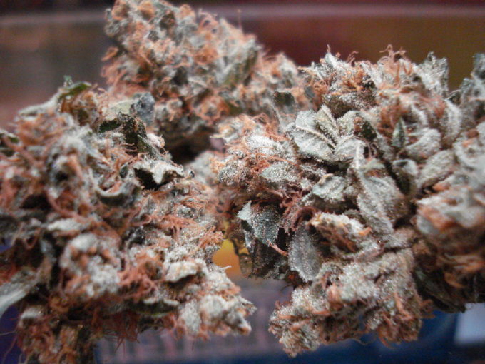 Versace Marijuana Strain Review
